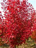 华石美国红枫