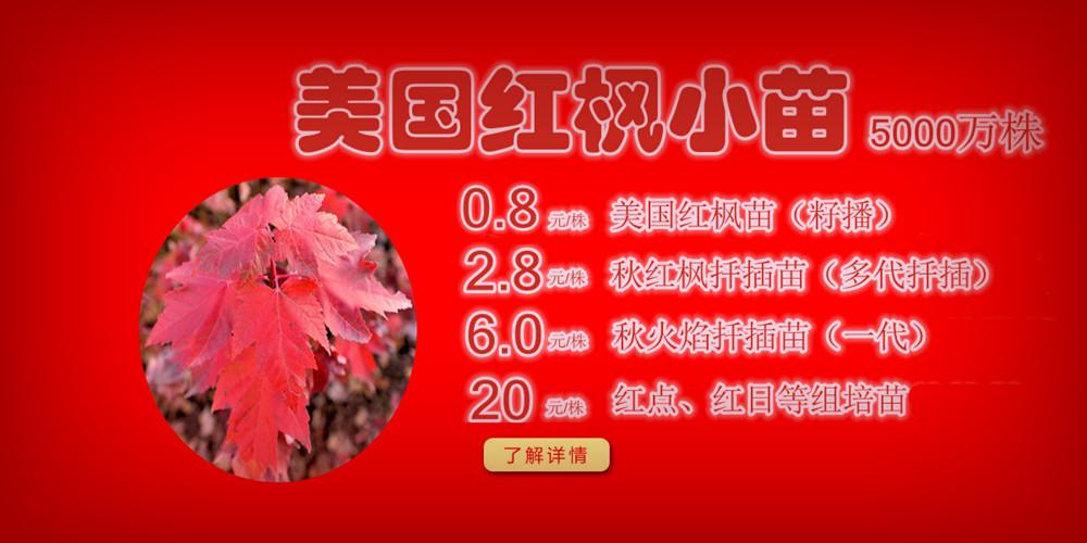 美国红枫小苗质佳价平回馈广大客户,接受2014-2015季苗预定!