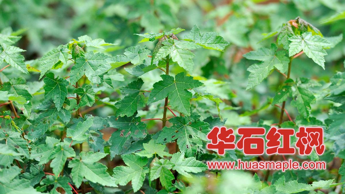 华石红枫的红点红枫组培小苗。
