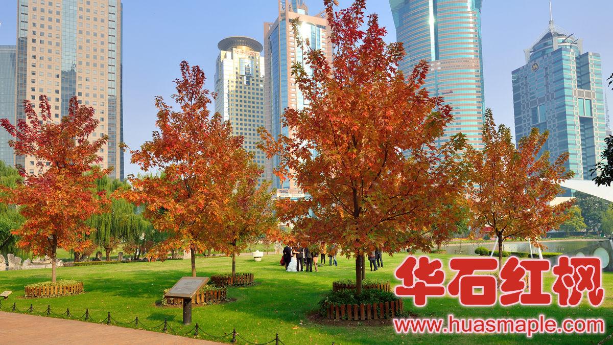 上海中央绿地的红枫。