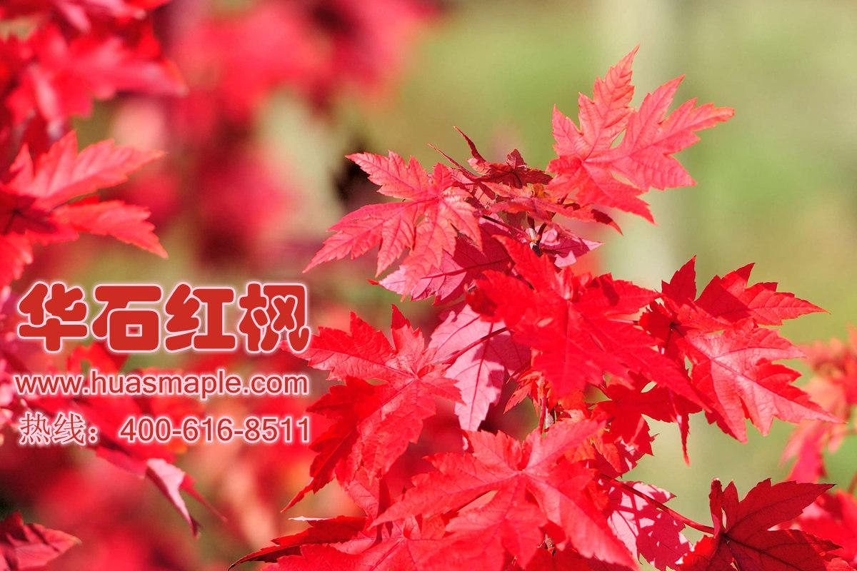 美国红枫的秋色红叶