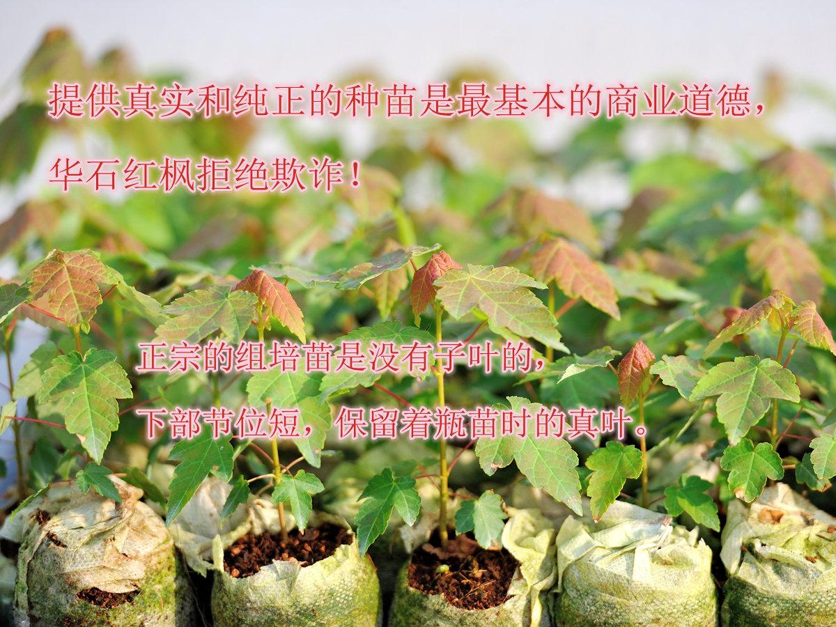 正宗的美国红枫组培苗