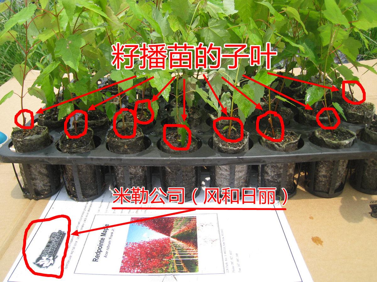 美国红枫组培苗赝品实为籽播苗幼苗