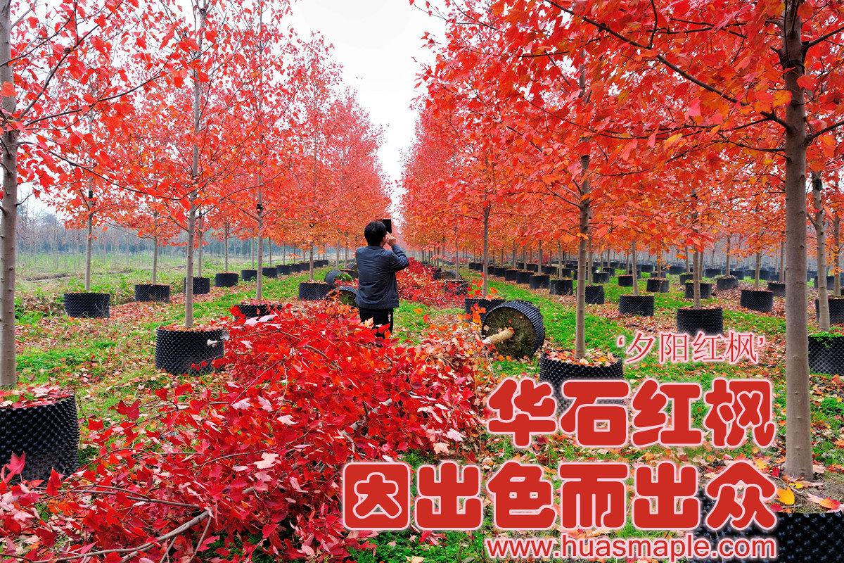 华石美国红枫'夕阳红'容器苗
