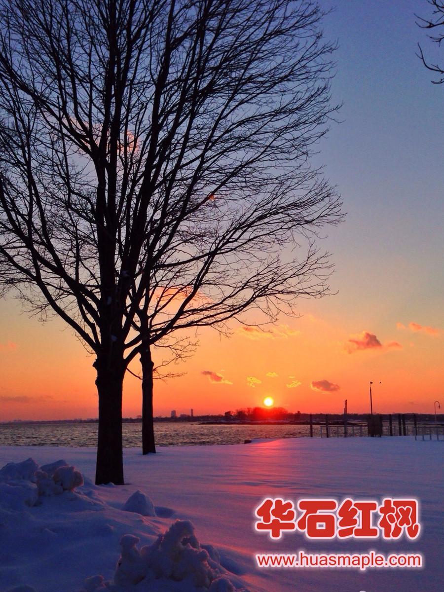 美国红枫的优美树形