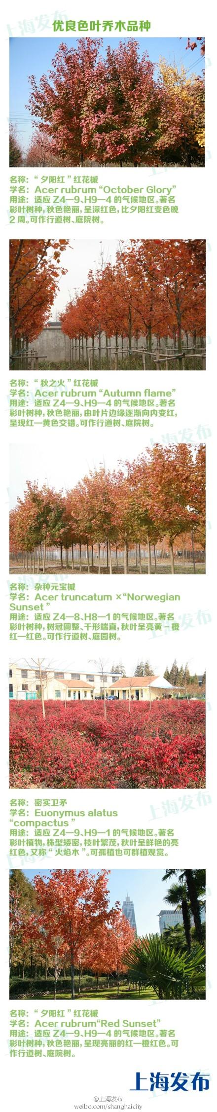 """上海市将推广""""色叶乔木""""红花槭、火焰卫矛等"""