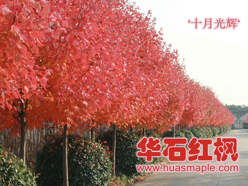 上海的美国红枫行道树