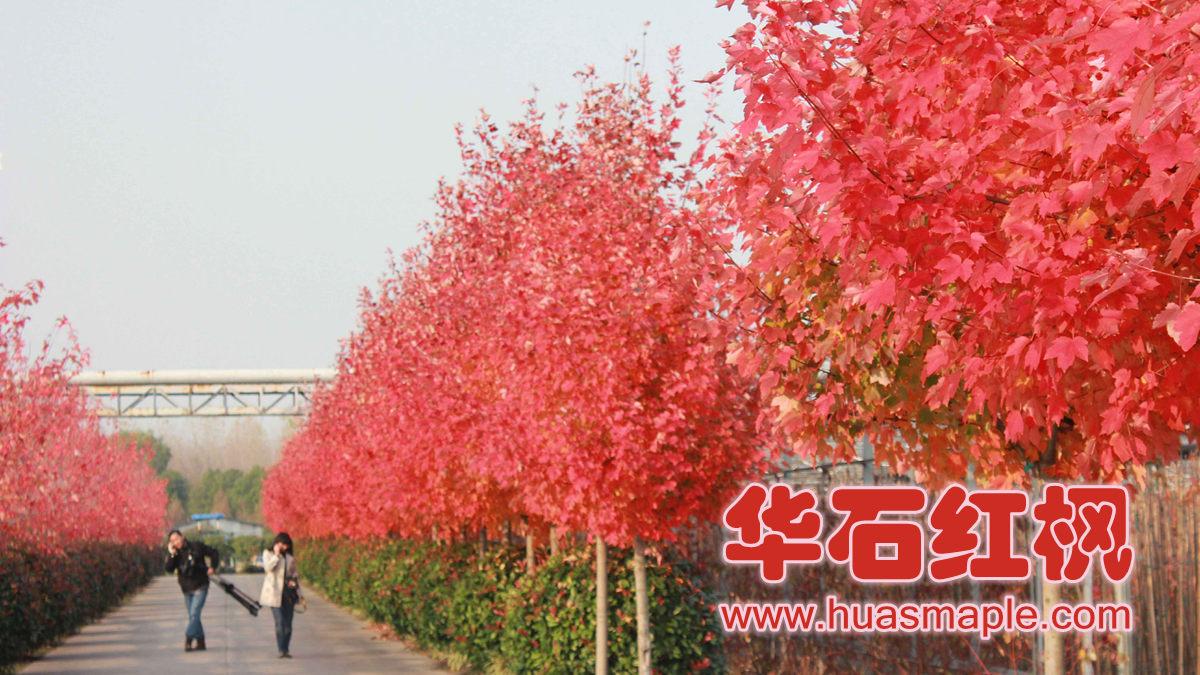 美国红枫十月光辉在上海的变色情况