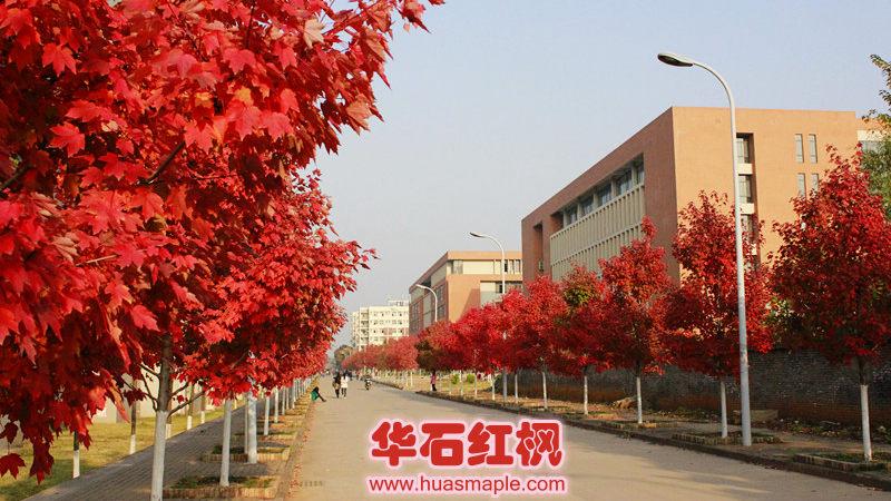武汉市行道树美国红枫十月光辉