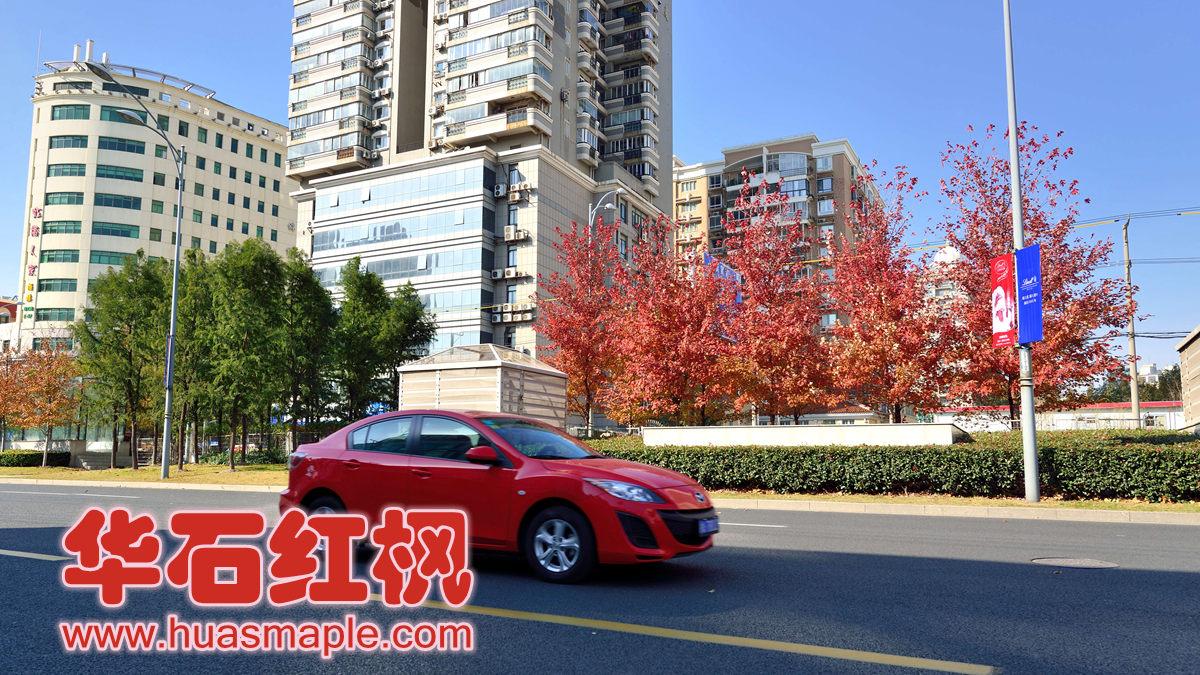 上海市行道树美国红枫秋火焰