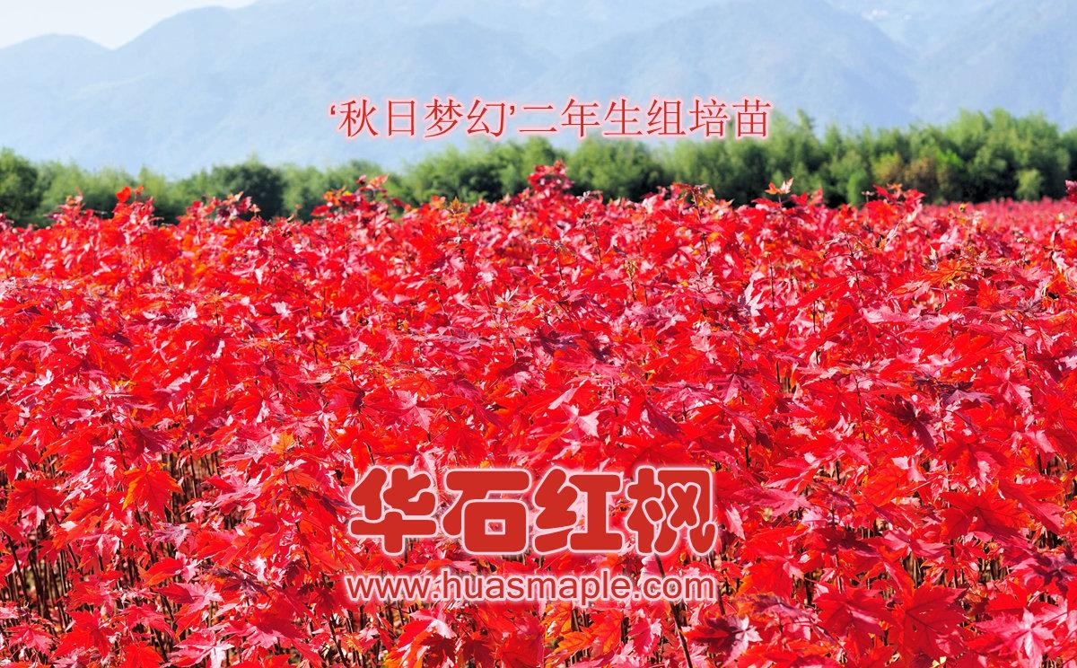 """华石美国红枫""""秋日梦幻""""二年生组培苗"""