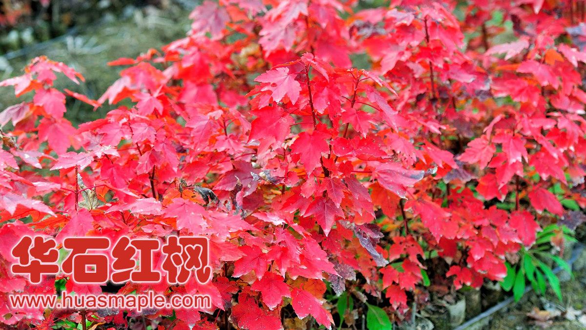 华石红枫十月光辉组培苗