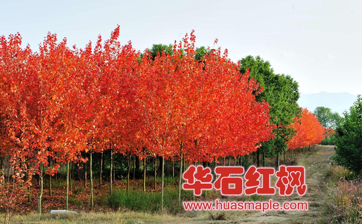 美国红枫园艺品种漂亮的秋色