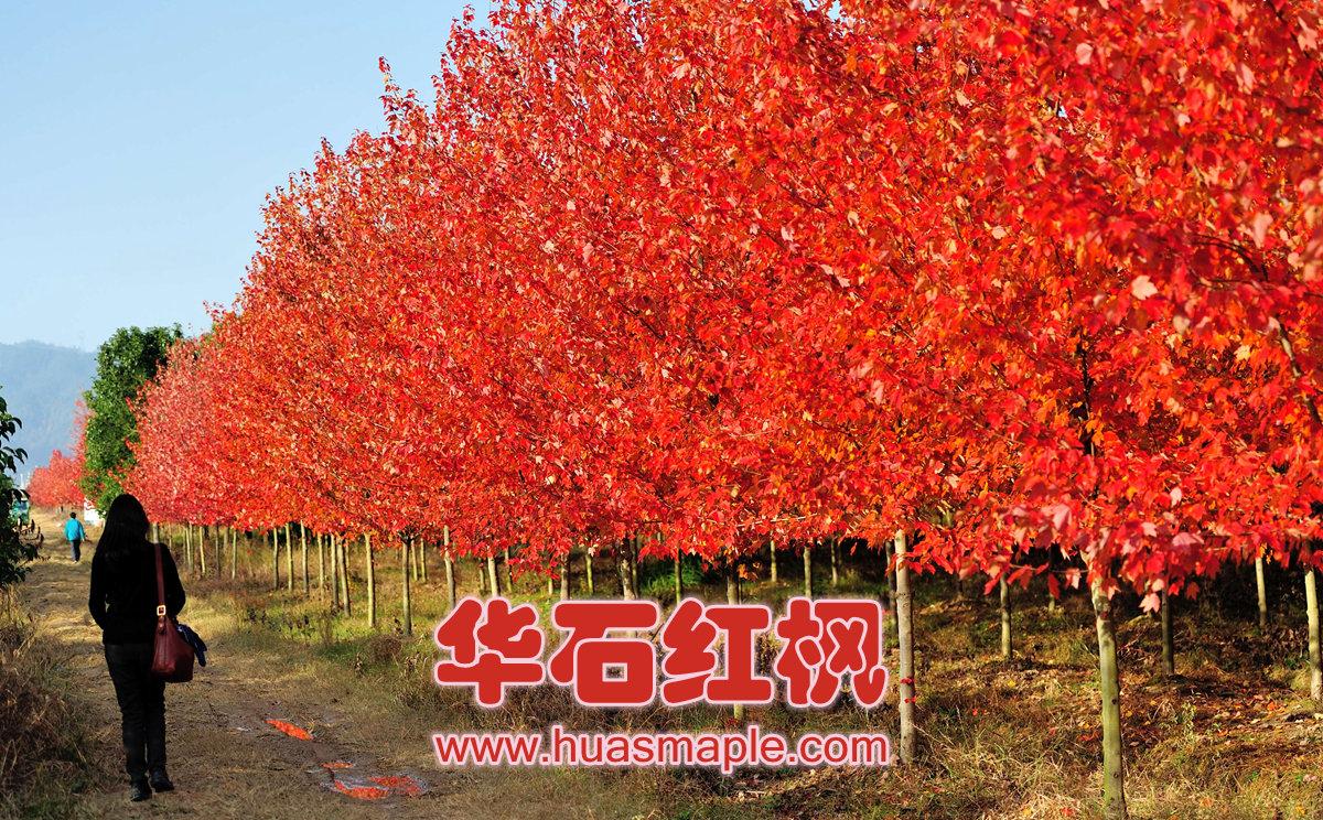 美国红枫园艺品种摩根