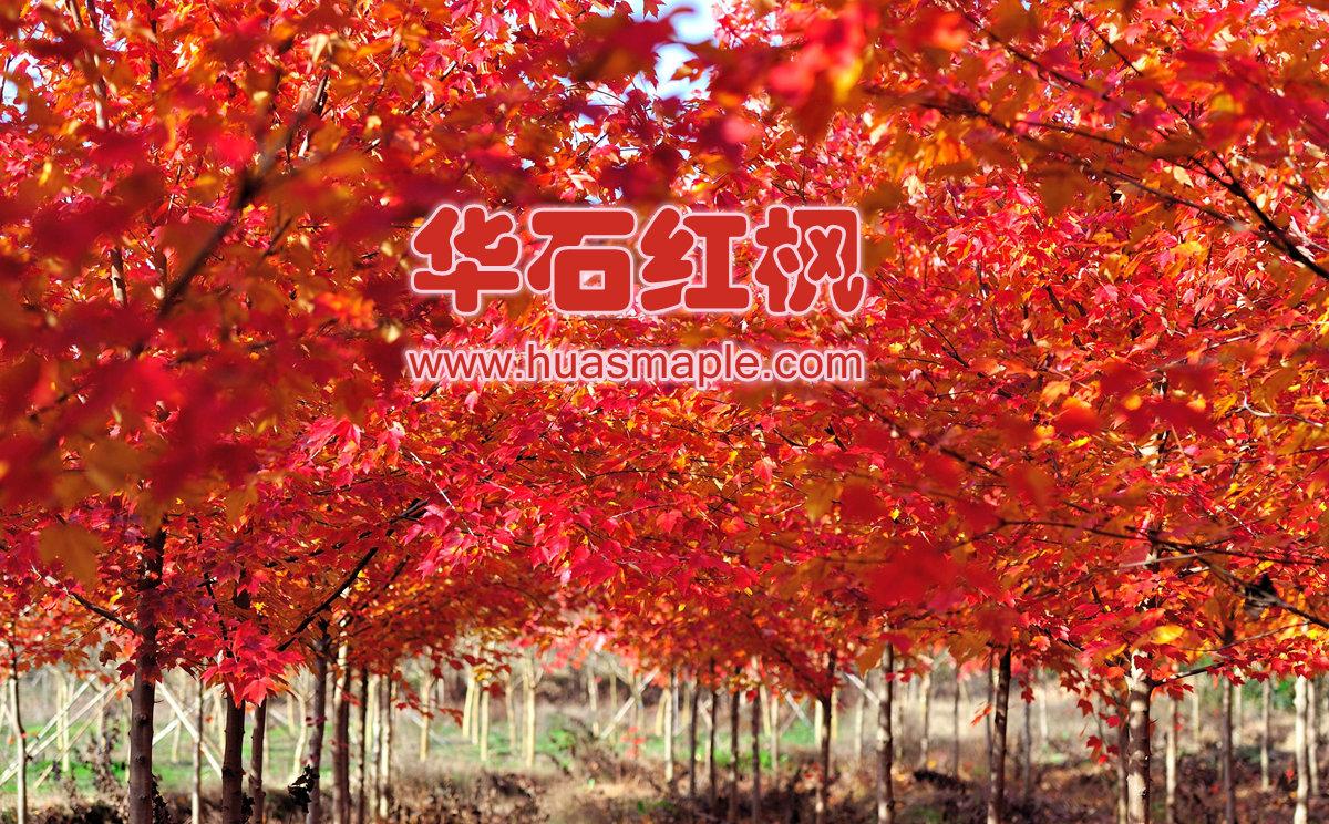 美国红枫秋色