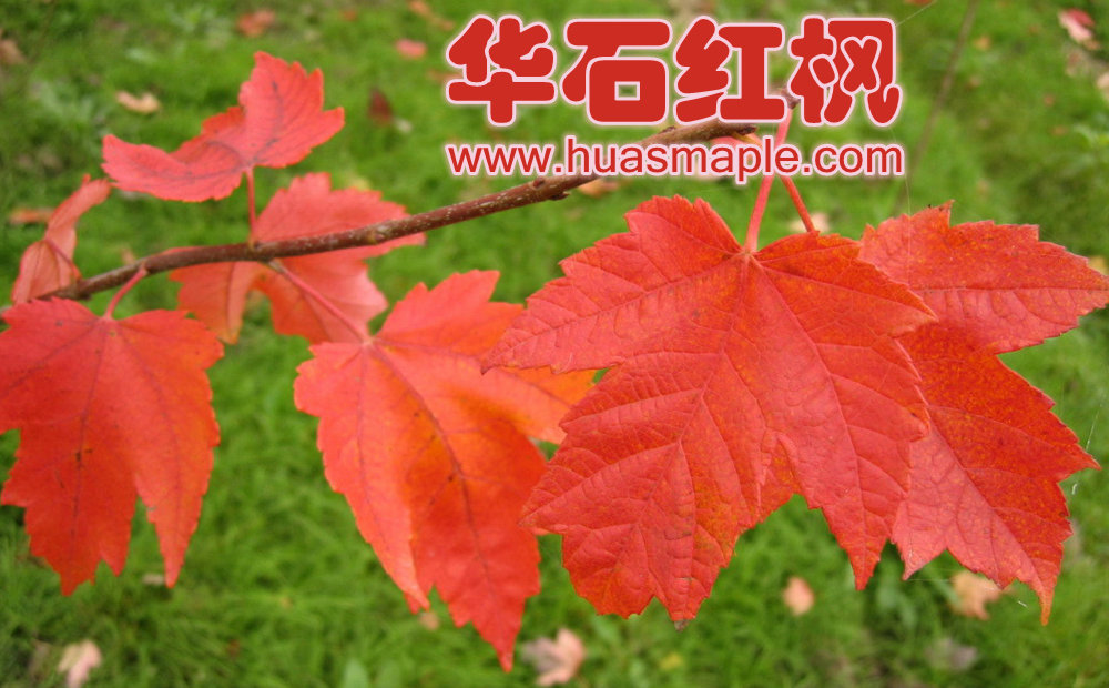 华石美国红枫的叶色