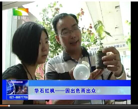 电视新闻报道:华石红枫—因出色而出众