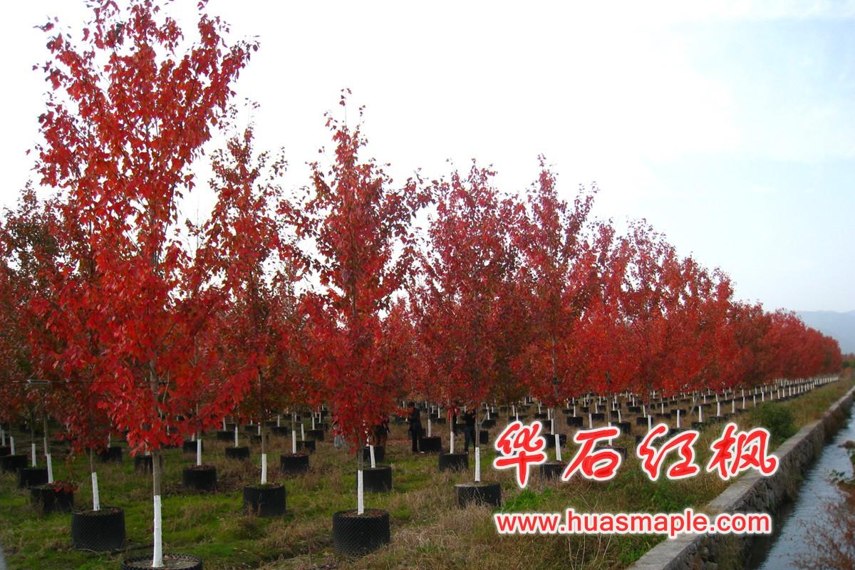 美国红枫容器苗