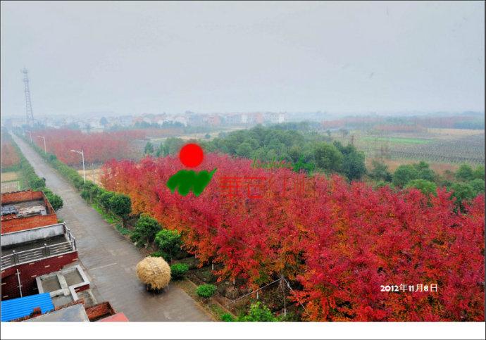 华石红枫基地的北美红枫