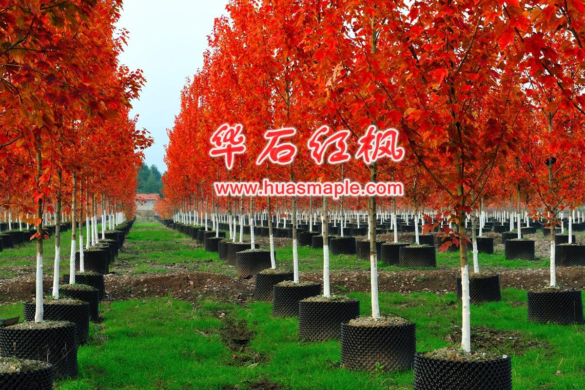 美国红枫---苗木行业的璀璨明珠