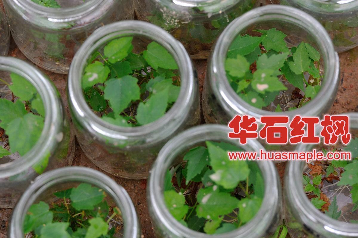 美国红枫组培瓶苗