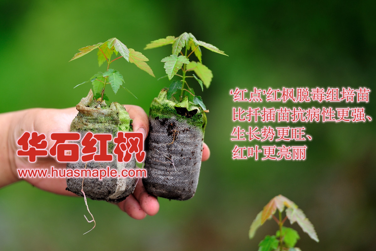 美国红枫组培脱毒苗