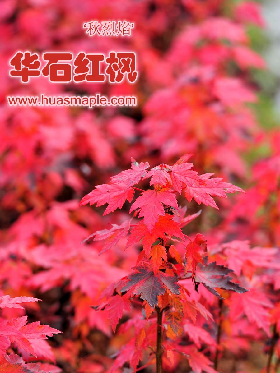 美国红枫组培苗