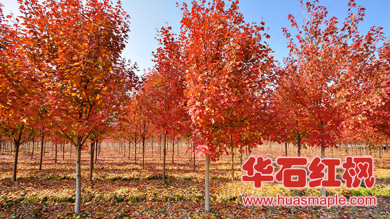 十月光辉:Acer Rubrum 'October Glory'