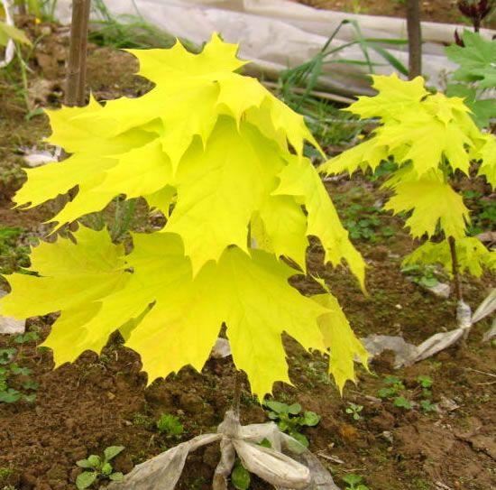 华石红枫基地刚刚嫁接的挪威槭黄金枫