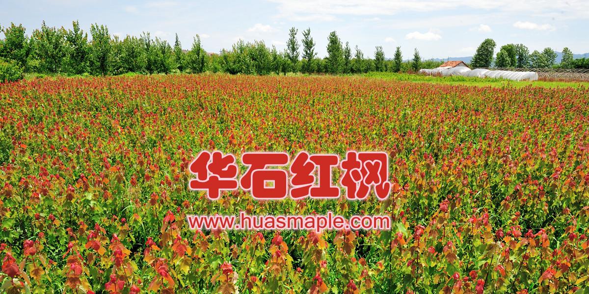 华石红枫?夏日红和索梅赛优质种苗