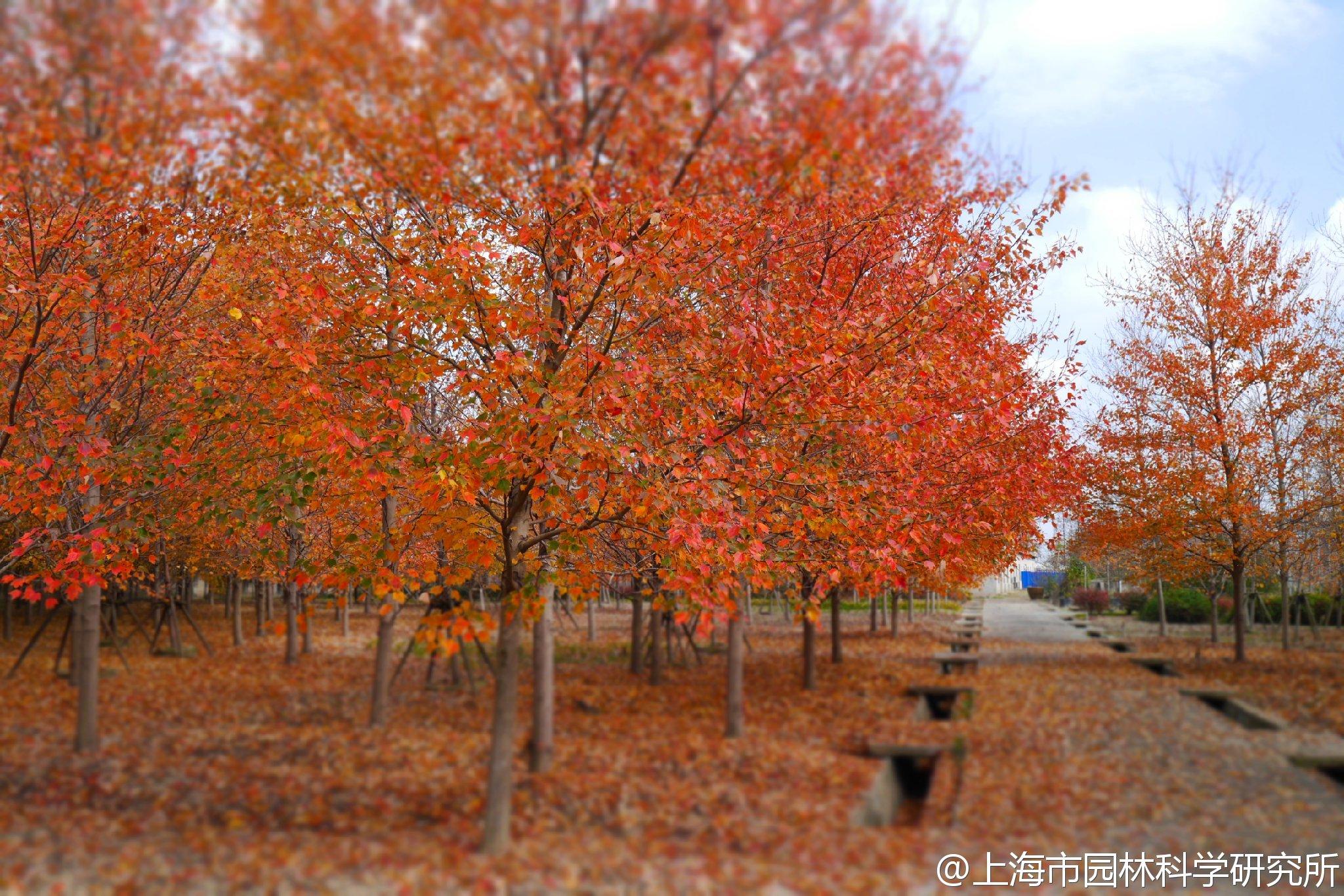 红花槭,又名北美红枫、加拿大红枫