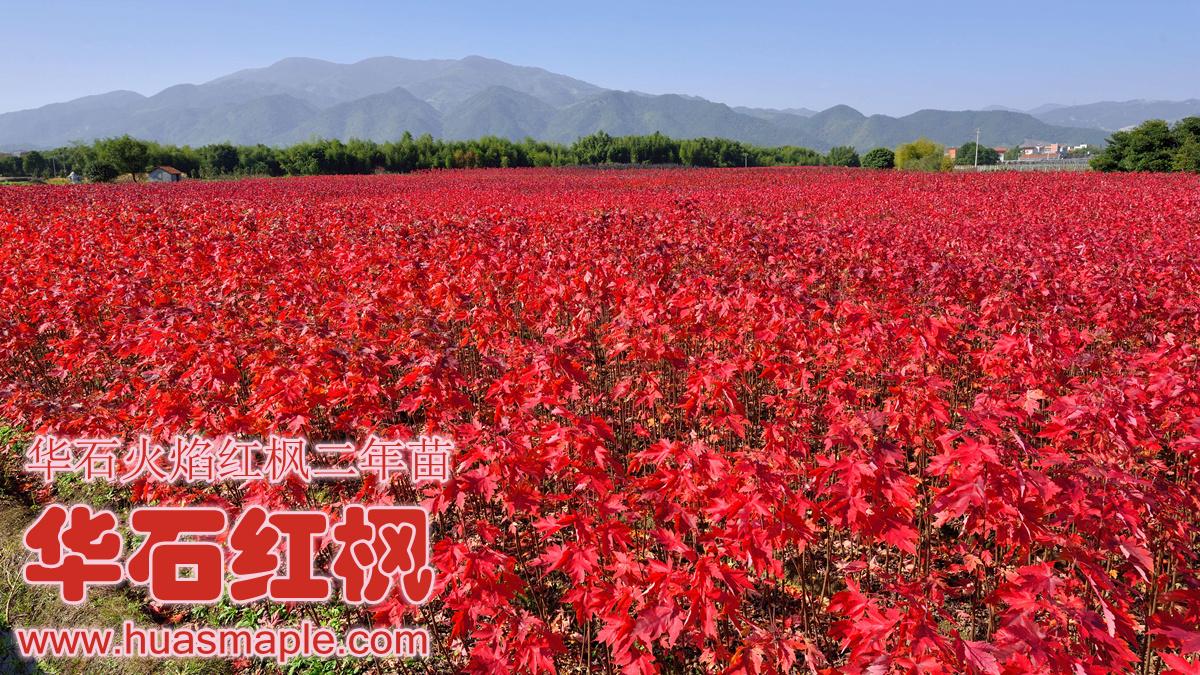 华石红枫美国红枫栽培基地