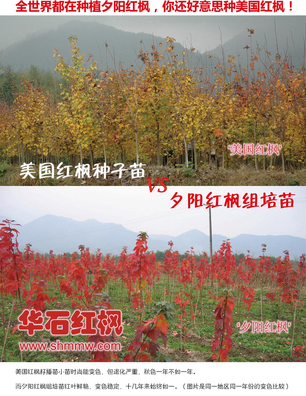 华石夕阳红枫与美国红枫籽播苗的对比