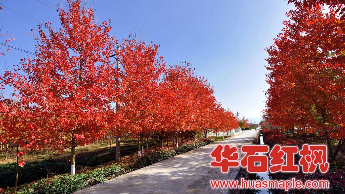 经得起工程项目检验的华石夕阳红枫