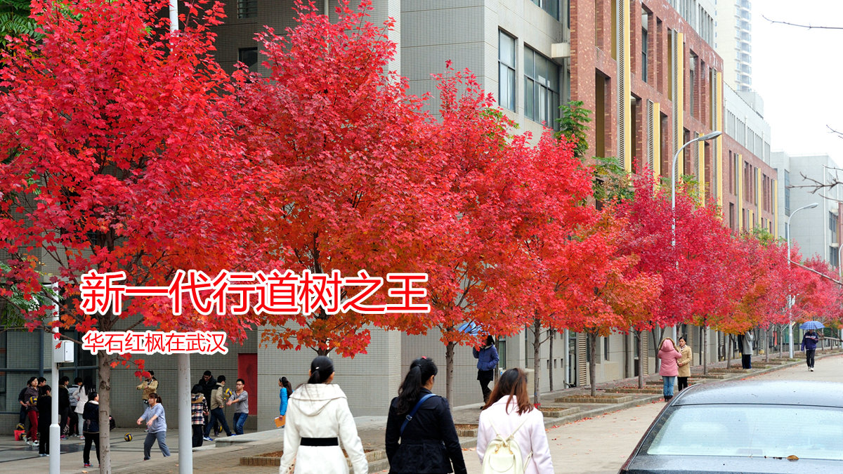 新一代行道树之王:华石红枫在武汉