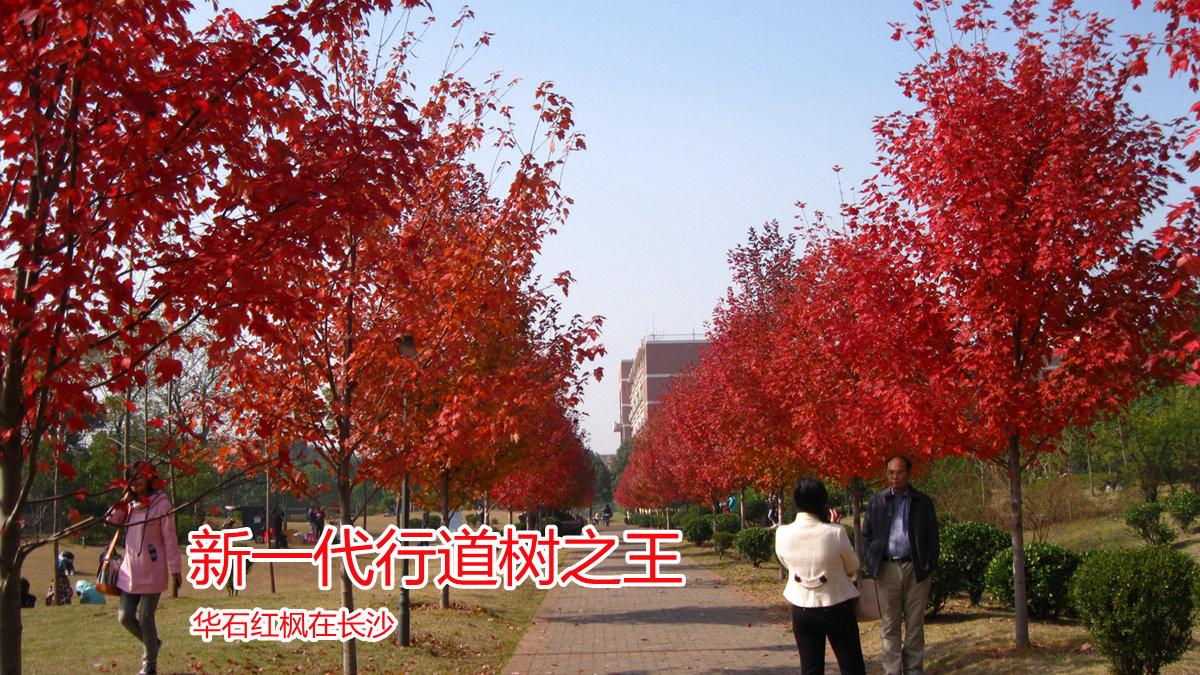新一代行道树之王:华石红枫在长沙