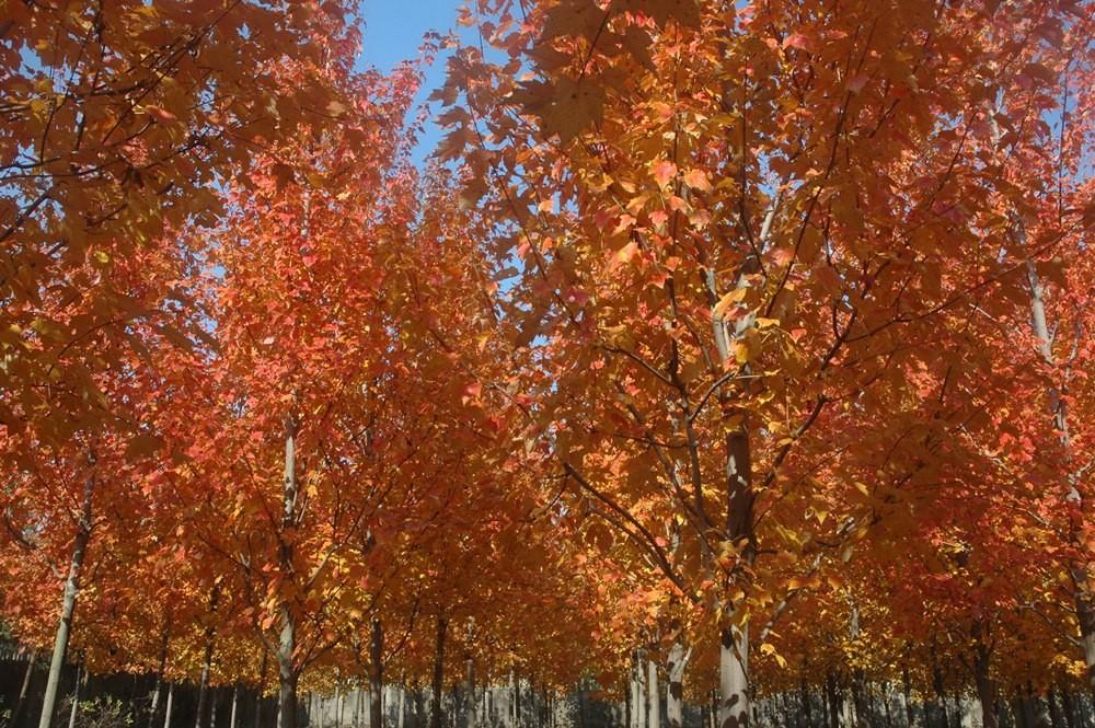 上海的红花槭夕阳红