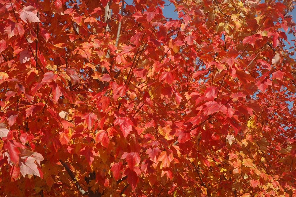 红花槭(北美红枫)表现最佳的夕阳红品种在上海本圃的秋色景观