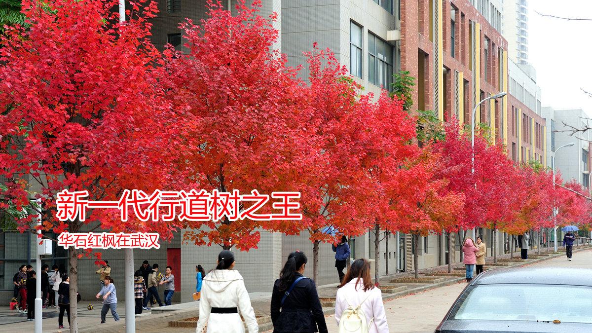 红花槭华石红枫十月光辉