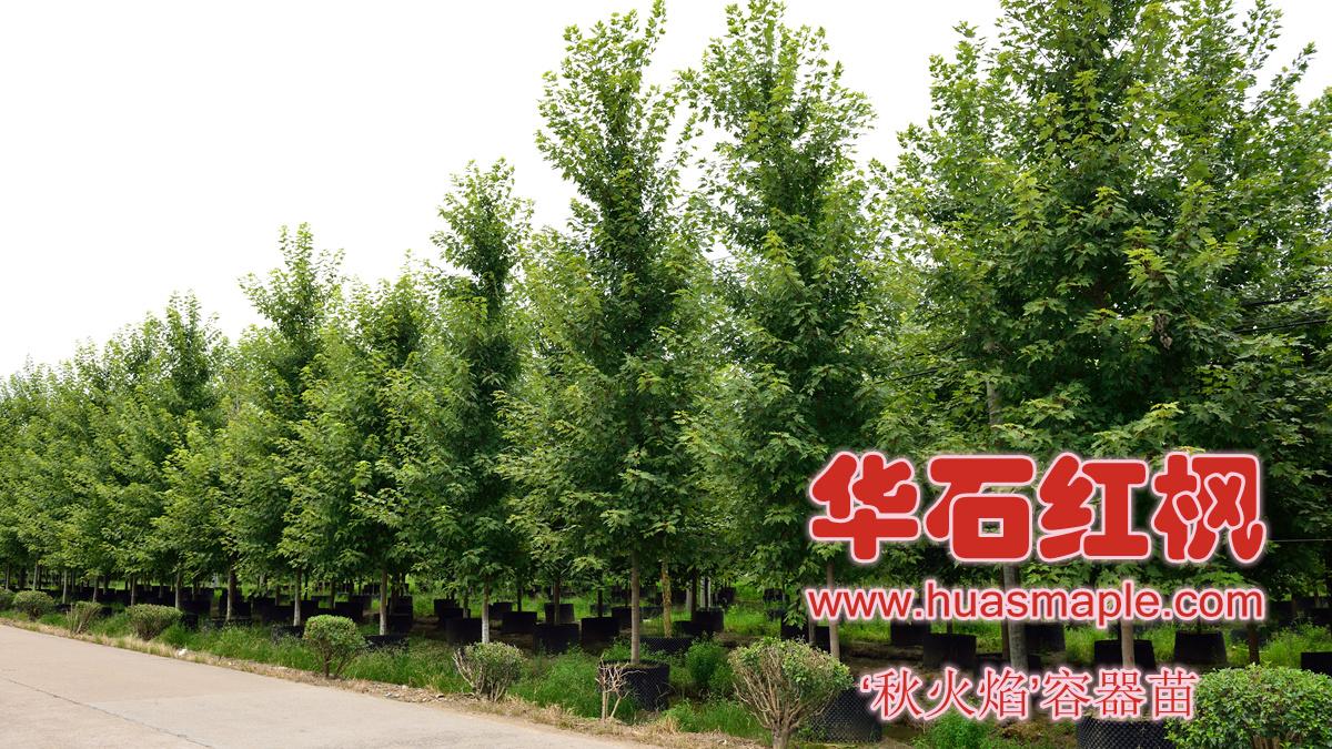 华石美国红枫优质容器大苗