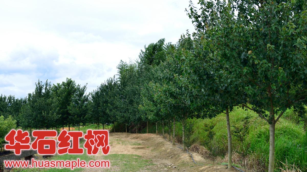 华石美国红枫精品大苗栽培基地