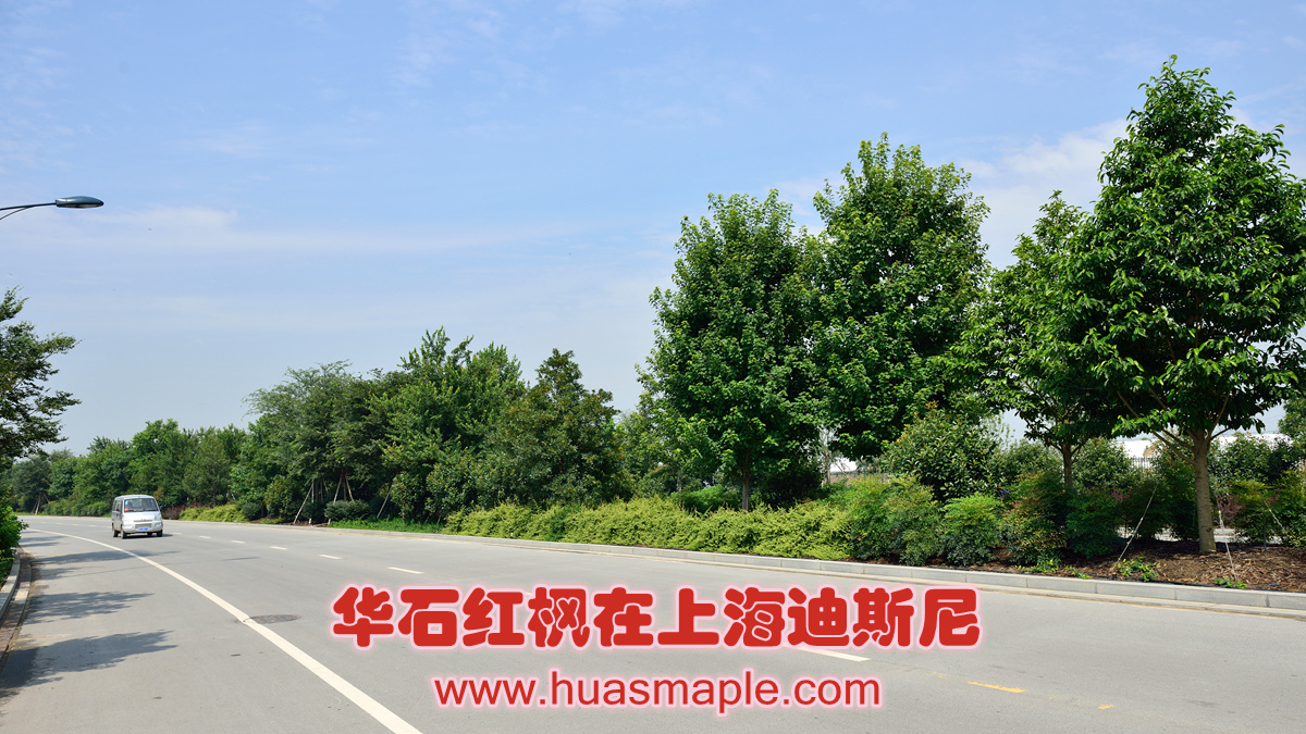 华石红枫在上海迪斯尼生机勃勃