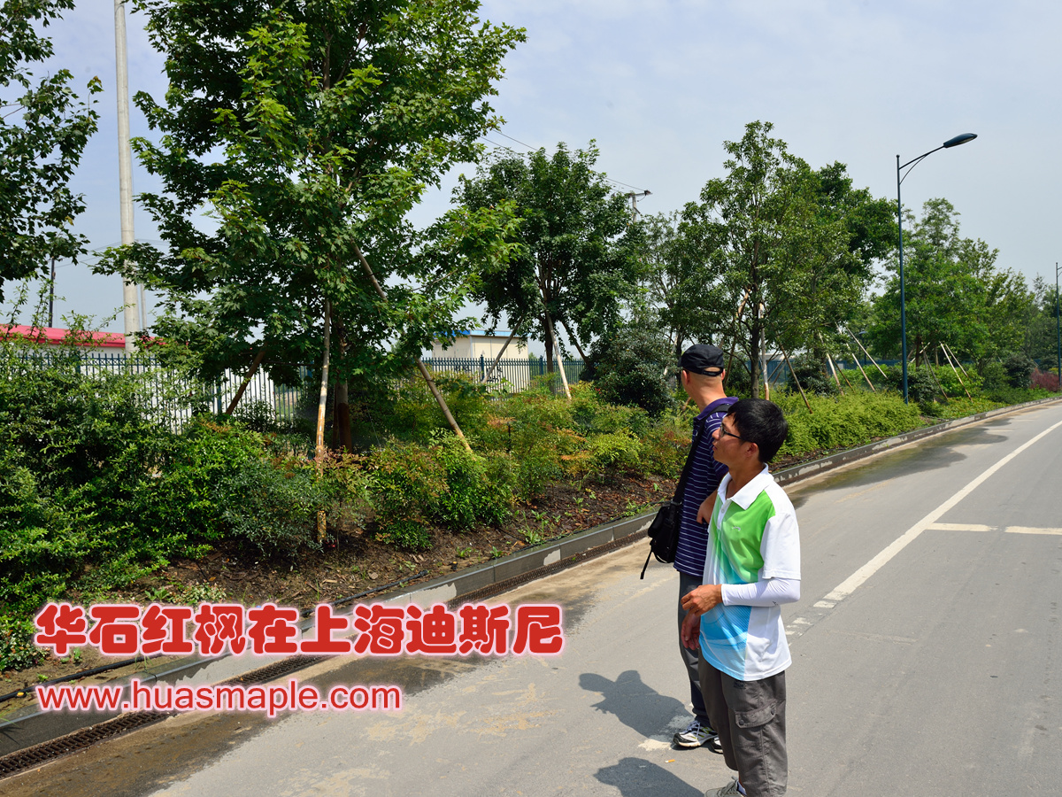 仔细查看华石红枫在上海迪斯尼的生长情况