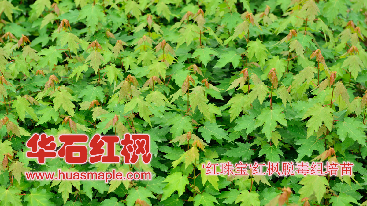 华石美国红枫(红花槭)'红珠宝'品种