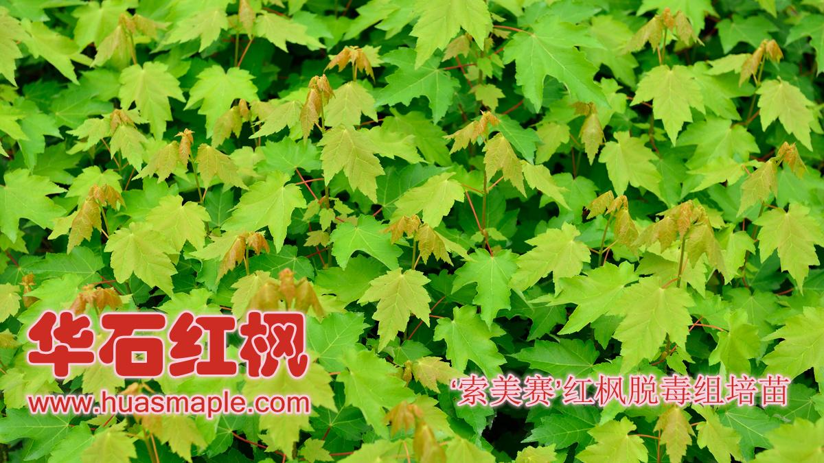 华石美国红枫(红花槭)'索美赛'品种