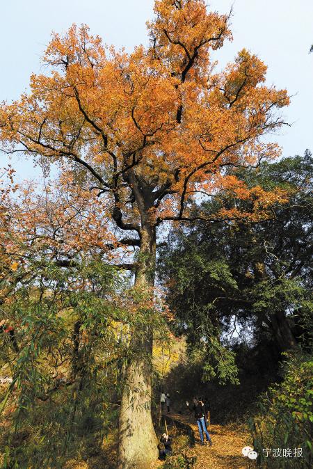 深秋时节的枫香。