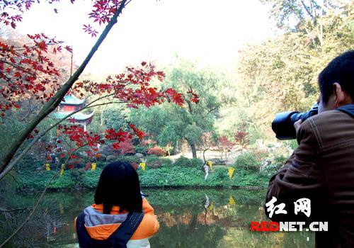 (枫叶红了,这成为摄影爱好者的拍摄对象。)