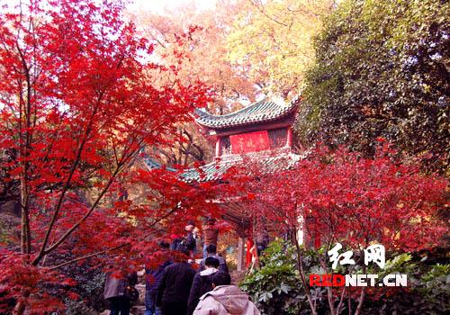 爱晚亭被通红的枫叶包围了