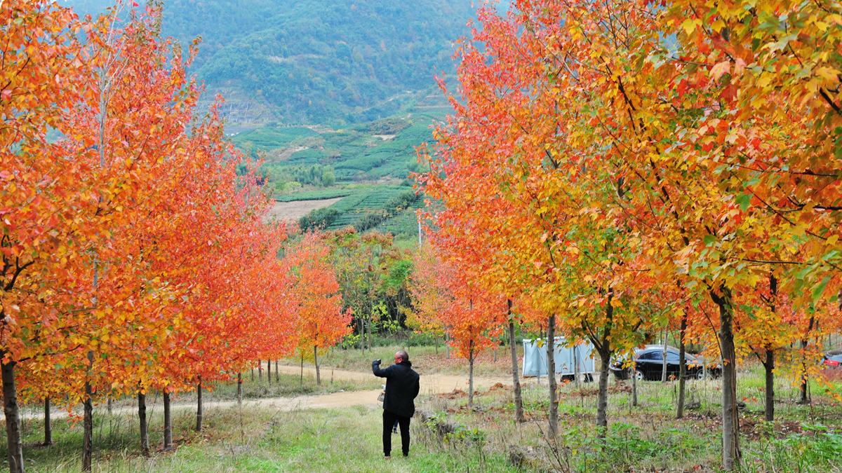 嵊州市万亩美国红枫林