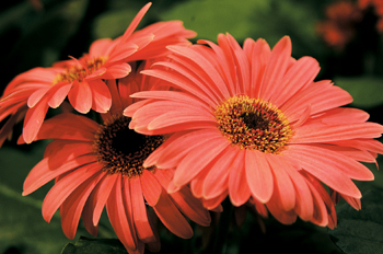 非洲菊成品花